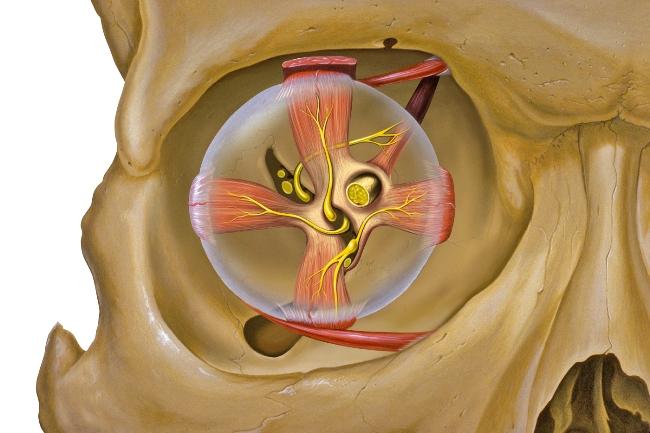 Анатомия человеческой глазницы