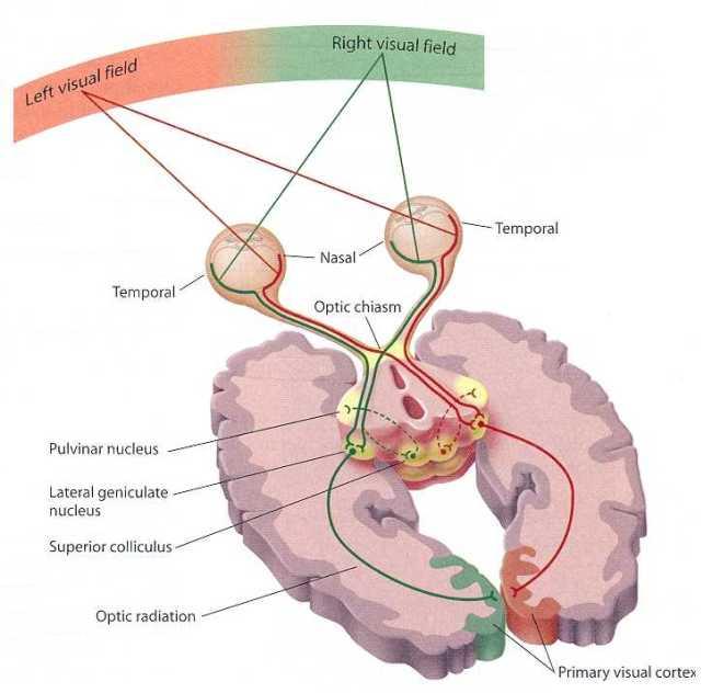 Анатомия зрительного пути