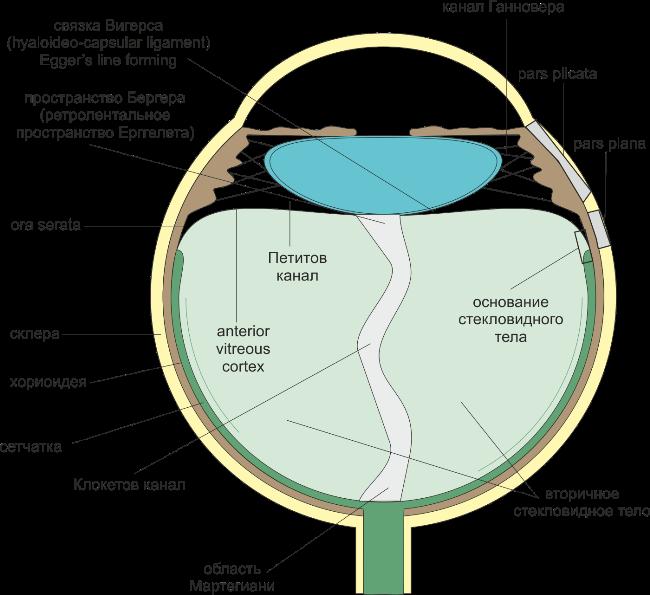 Функции стекловидного тела