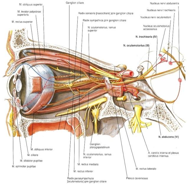 Нерв глазодвигательный