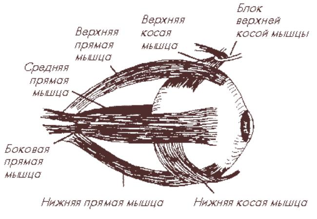 Положение глазных мышщ