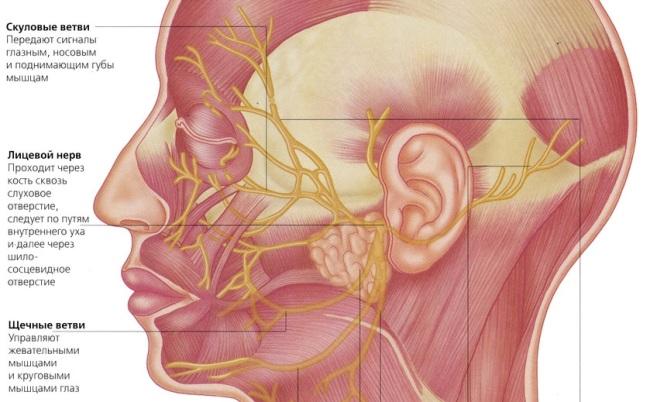 Путь лицевого нерва