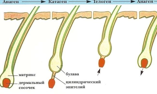 Рост ресниц