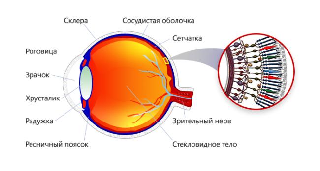 Сетчатка здорового глаза
