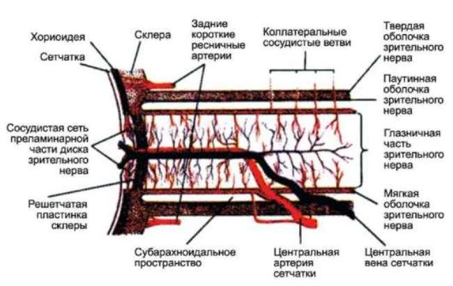 Снабжение зрительного нерва кровью