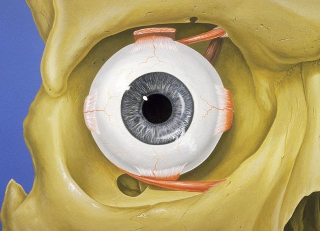 Содержимое полости глазницы