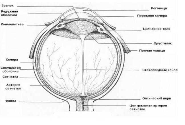 Состав камер глаза