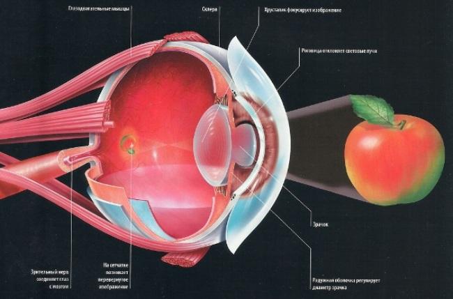 Строение обычного человеческого глаза
