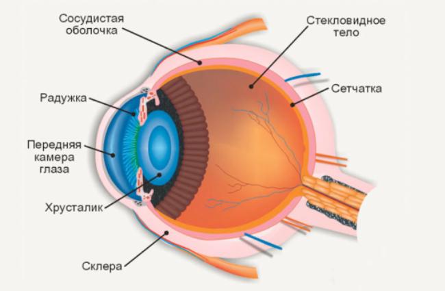 Строение здорового глаза