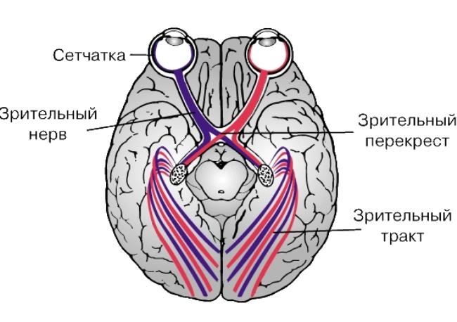 Строение зрительного нерва