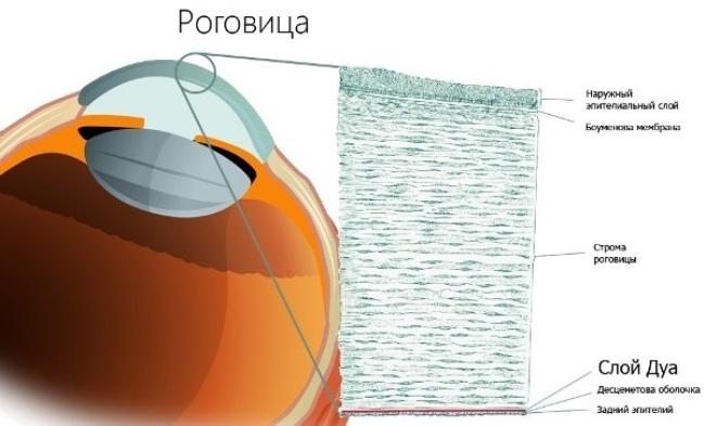 Структура роговицы глаза