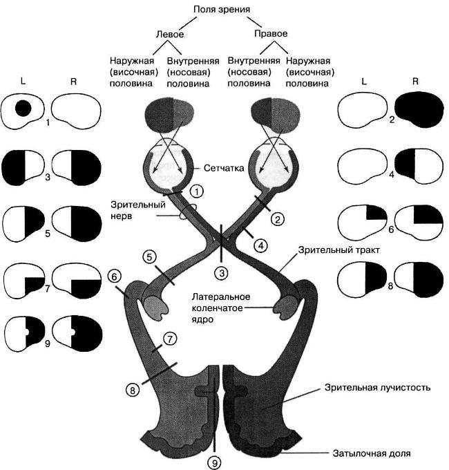 Топография зрительного нерва