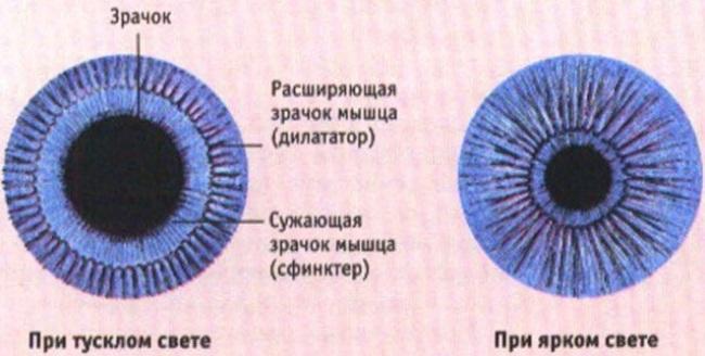 Зрачок глаза человека